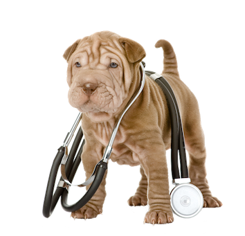 Shar Pei and health